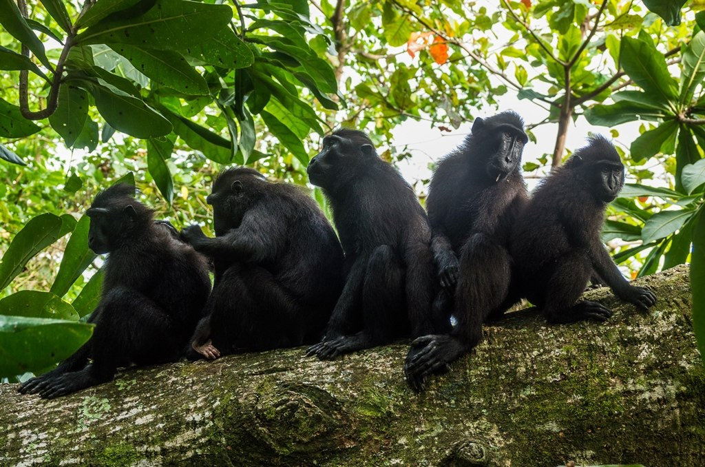 Black Macaques in Tangkoko, by Sander van Hulsenbeek