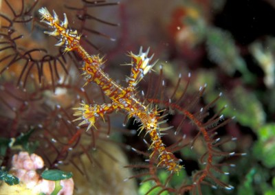 Ornate Gosth Pipe Fish