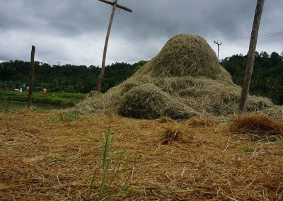 Rice hay stack