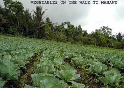 Cabbage on the walk to Mahawu