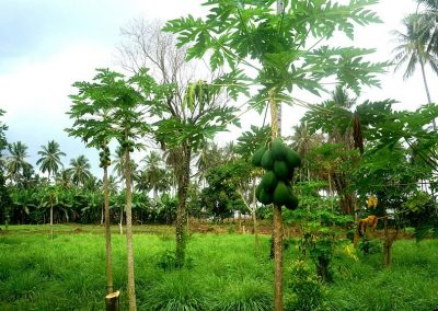 Papaya plantation