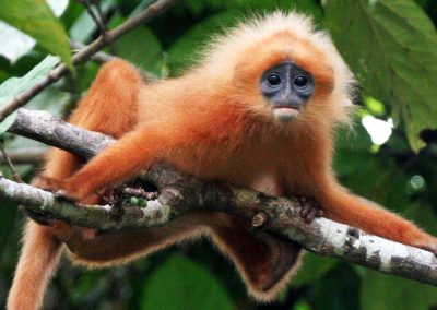 LANGUR Red-Leaf-Monkey