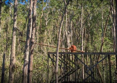 Orangutan on boardwalk