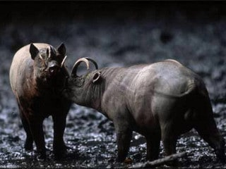 Babirusa Endemic Tour